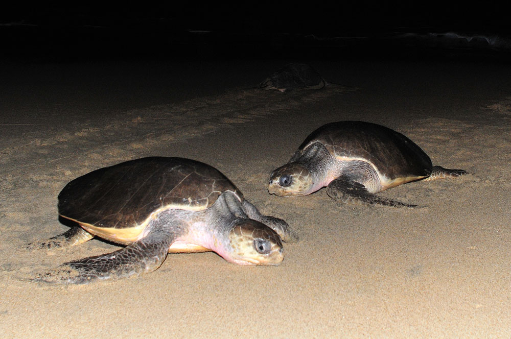 turtles-puerto-escondido