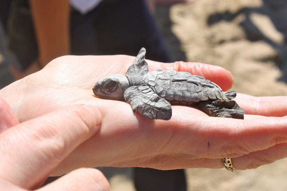 A baby turtle before its release at Vivo Resorts.